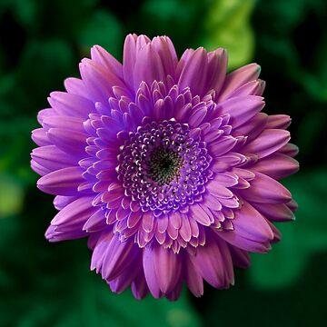 Lee Lee Ingram's 'Purple Gerbera' by Art4XMRV