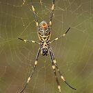 Golden Orb Weaver - Nephila sp. by Andrew Trevor-Jones