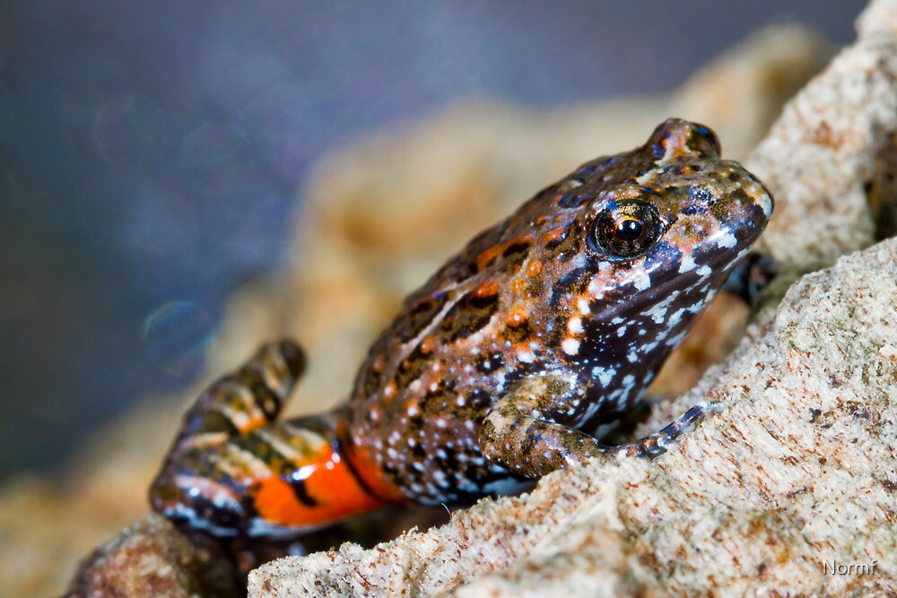 Tusked Frog (Adelotus brevis) by Normf