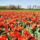 Tulips from Flakkee..... by Adri  Padmos