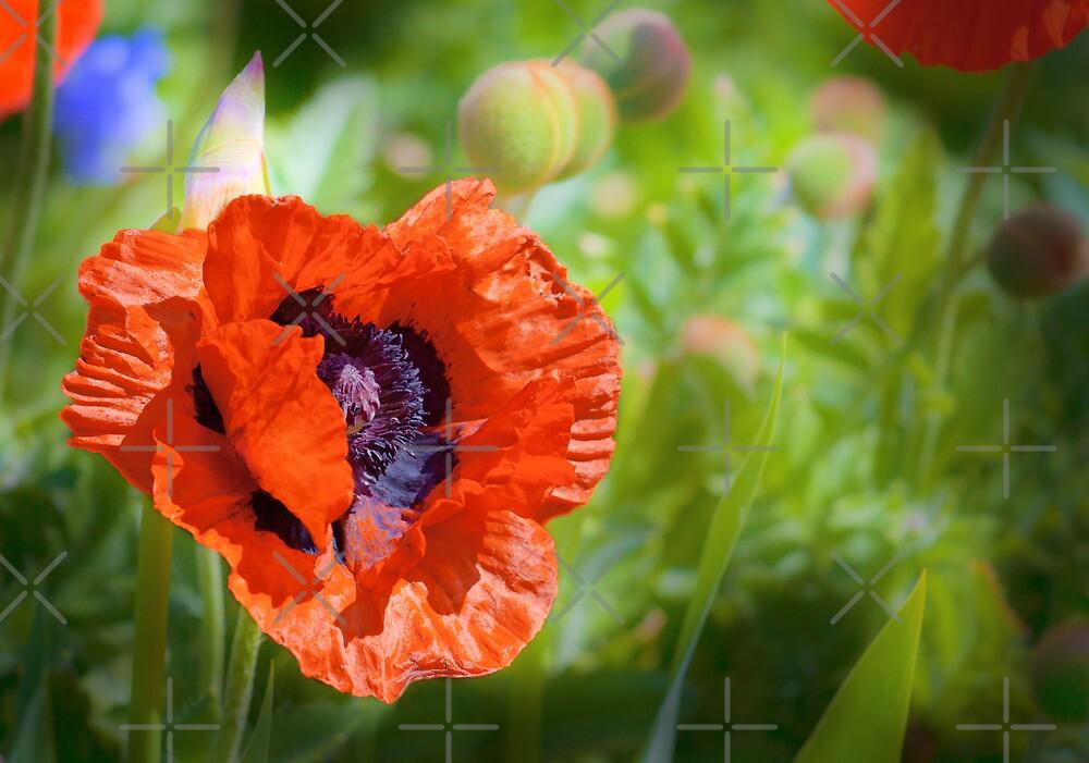 Spring Poppy by Geoff Carpenter