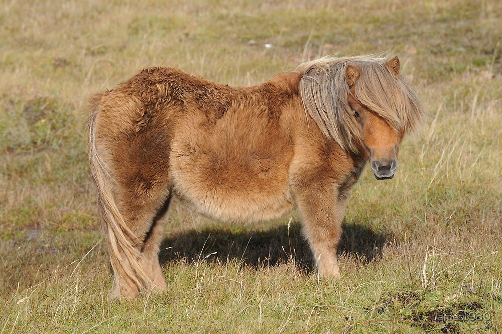 Shetland Pony by James1980