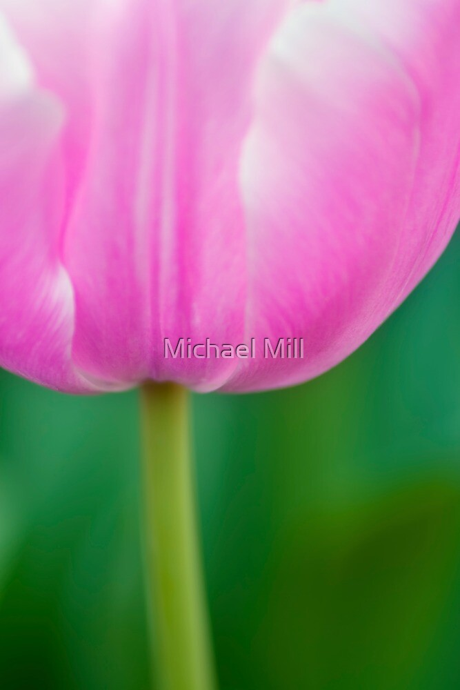 Pink Tulip Close-up by Michael Mill