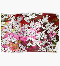 Dogwood Blossom Lattice Poster