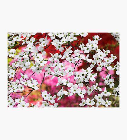 Dogwood Blossom Lattice Photographic Print
