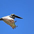 Flying Brown Pelican by RebeccaBlackman