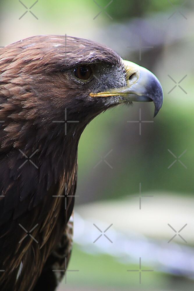 Golden Eagle by Alyce Taylor
