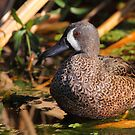 Blue-winged Teal by naturalnomad
