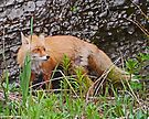 Red Fox, Katmai, Alaska, USA by Margaret  Hyde
