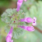 virginia wildflower (weed) by rue2