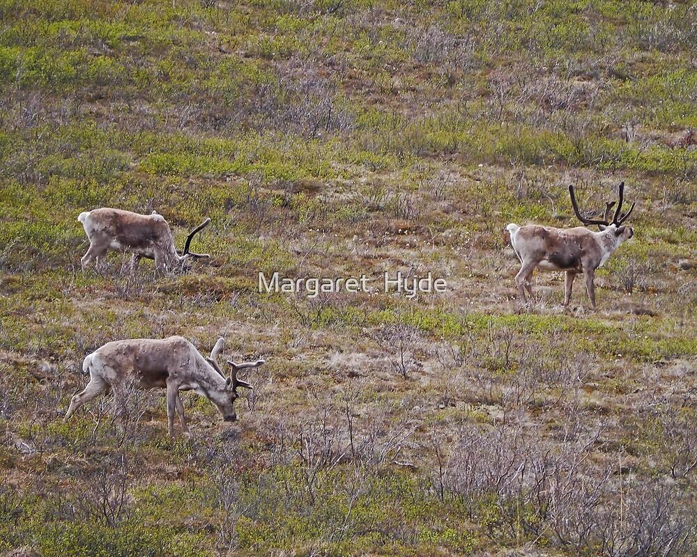 Caribou, Denali National Park, Alaska, USA by Margaret  Hyde