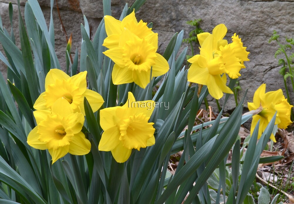 Daffodils 2011 by Imagery