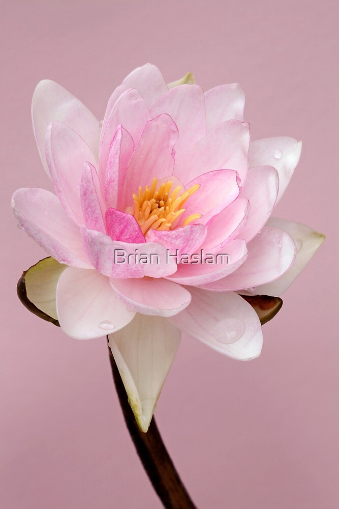 Waterlily by Brian Haslam