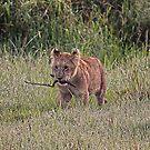 Lion Cub - Maasai Mara Kenya by Pascal Lee (LIPF)