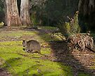 Wallaby, Leven Canyon Regional Reserve, Tasmania, Australia by Margaret  Hyde