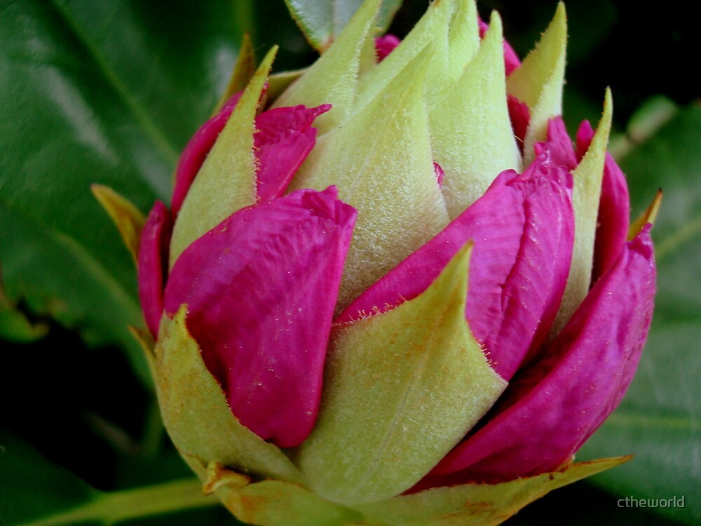 Bursting ............ (Rhododendron bud)  ^ by ctheworld