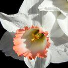 Pretty Daffodil ©  by Dawn Becker