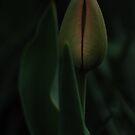 I am ready (Tulip) by Antanas
