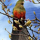 King Parrot in Magnolia - Thinking of you by Bev Pascoe