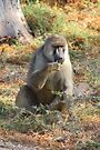 Yellow Baboon Eating by Carole-Anne
