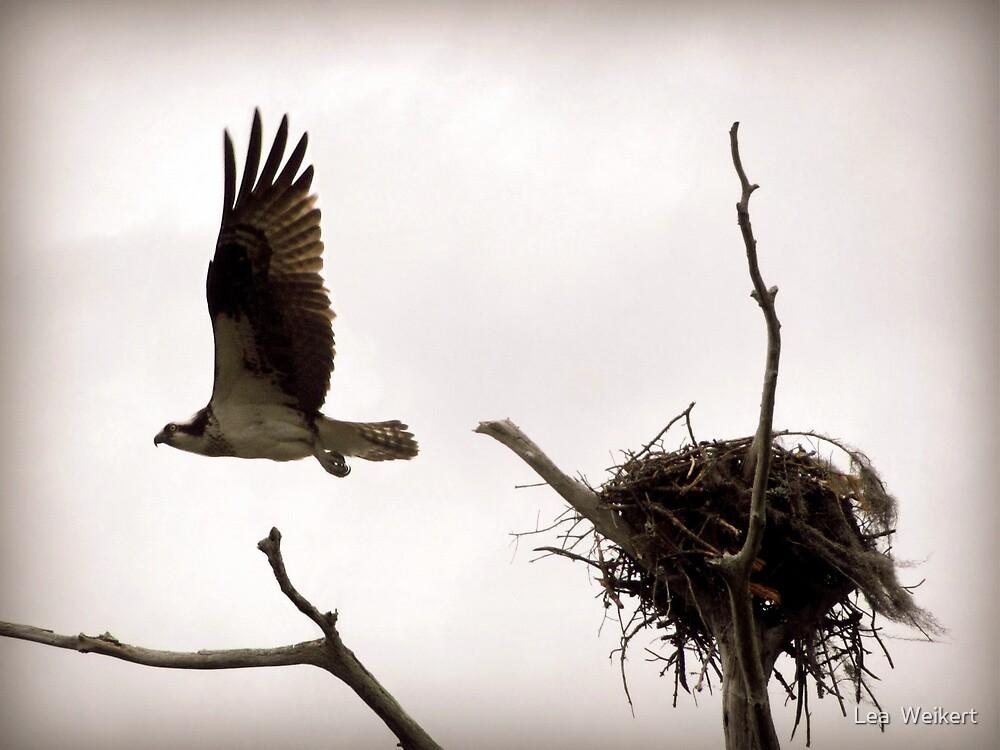 Osprey in Flight by Lea  Weikert