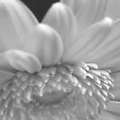 Gerbera Daisy in Monochrome by karenkirkham