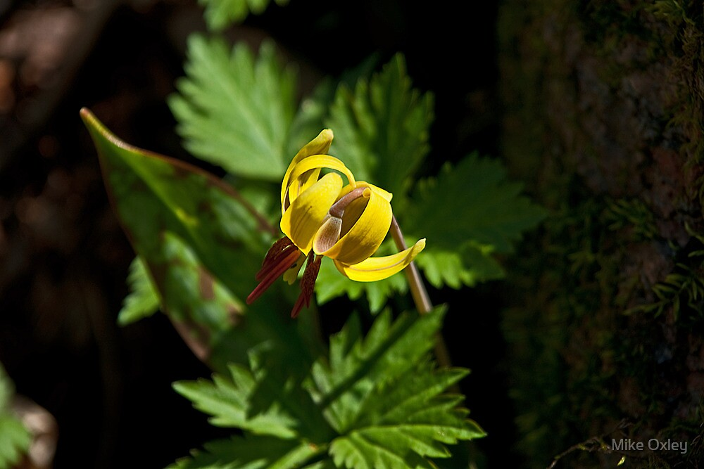 Trout Lily by Mike Oxley