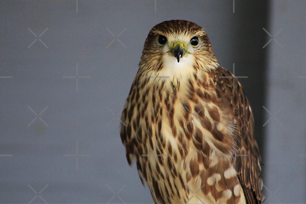 Merlin Falcon by Alyce Taylor