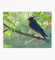Bluebird Photographic Print