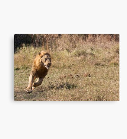 Lion Running From Buffalo Canvas Print