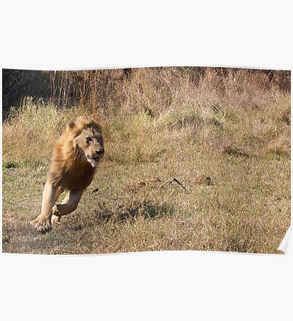 Lion Running From Buffalo Poster
