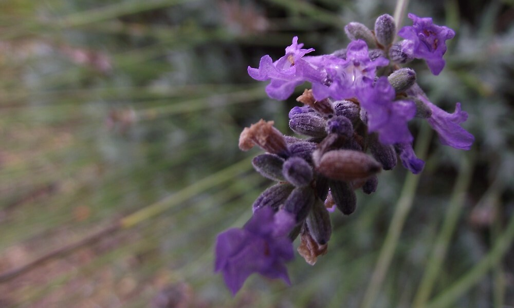 lavender blossoms - macro by gaylene