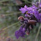 lavender blossoms - macro by gaylene