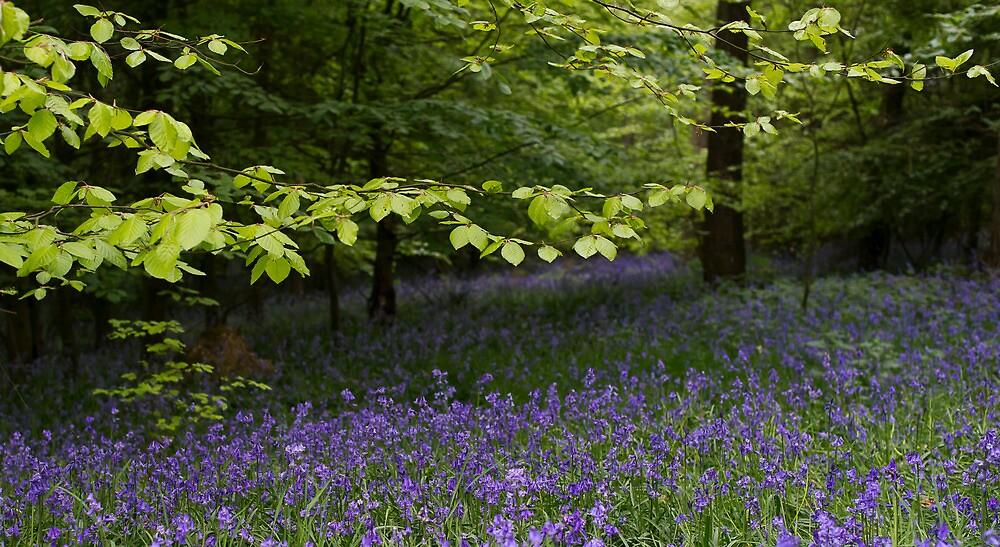 Bluebell drifts, Penn Wood by Gary Eason