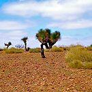Black Boys... Flinders Rangers by Ali Brown