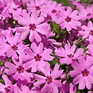 moss phlox by Lee d'Entremont