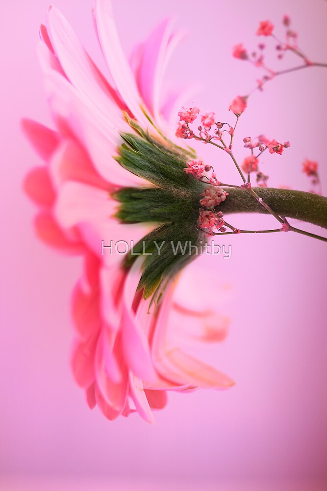 Pink Daisy by Elaine123