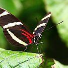 Sara Longwing - Heliconius sara by Lepidoptera