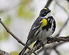 Yellow Rumped Warbler by Dennis Cheeseman