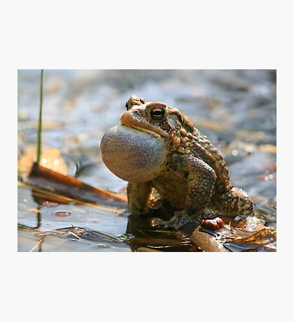 American Toad Croaking Photographic Print
