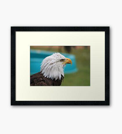 """Bald Eagle - """"Jefferson"""" Framed Print"""