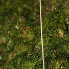 Mushroom - Mycena sp. by Andrew Trevor-Jones