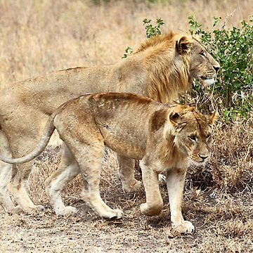 Adolescent African Lions, Serengeti, Tanzania  by Carole-Anne