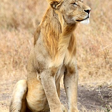 African Lion, Adolescent Male, Serengeti, Tanzania  by Carole-Anne