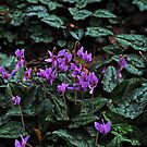 Cyclamen hederifolium by Colin12