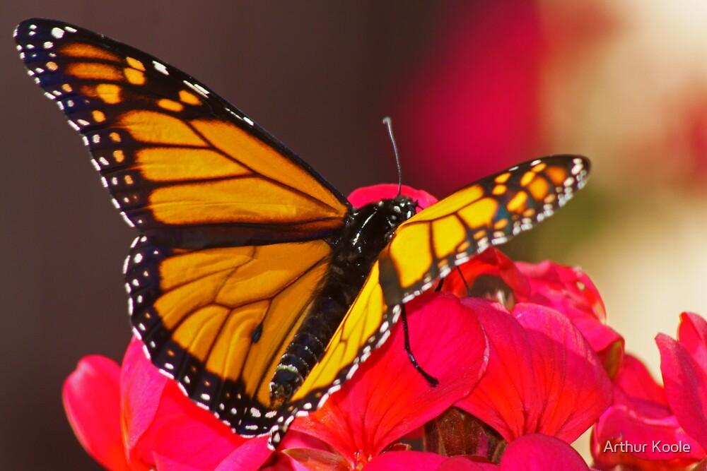 Monarch Butterfly by Arthur Koole