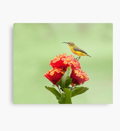 Another little sweety - sunbird in my Etty Bay garden. Metal Print