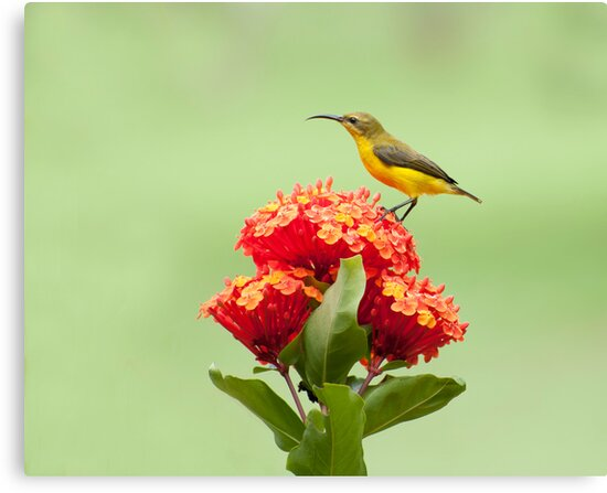 Another little sweety - sunbird in my Etty Bay garden. by Jenny Dean