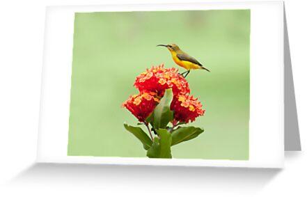Another little sweety - sunbird in my Etty Bay garden. by Jenny Dean