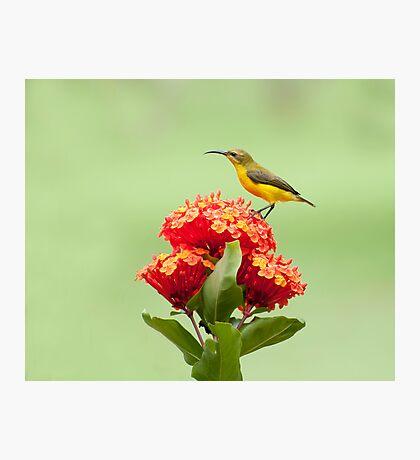 Another little sweety - sunbird in my Etty Bay garden. Photographic Print